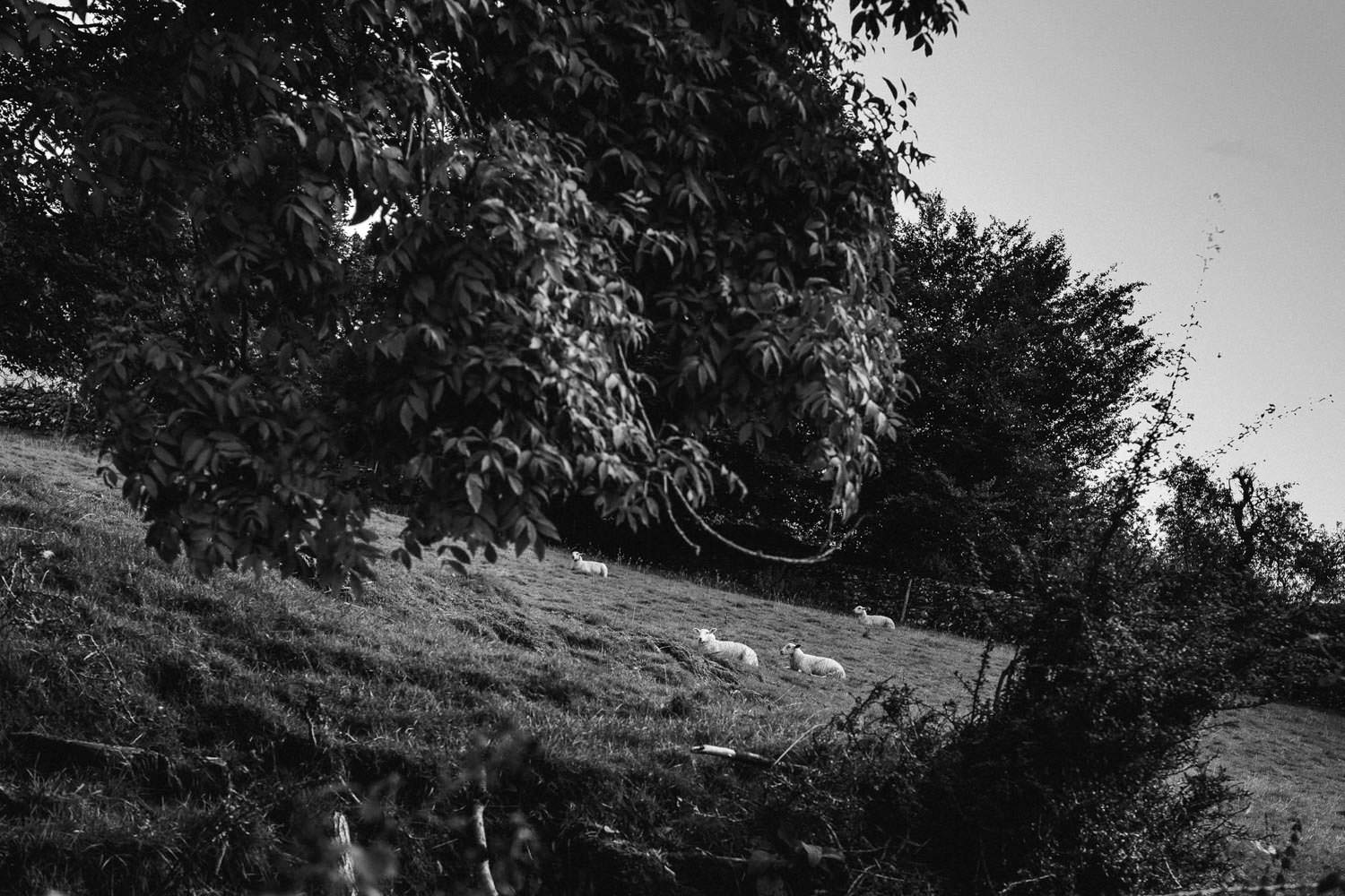 Sheep resting in the Lake District