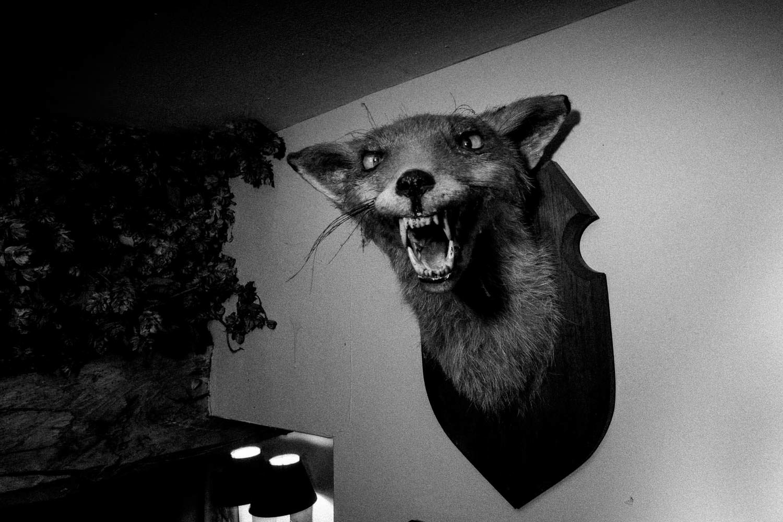 Fox head mounted on a wall